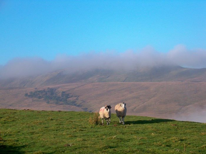 swaledale sheep in dentdale